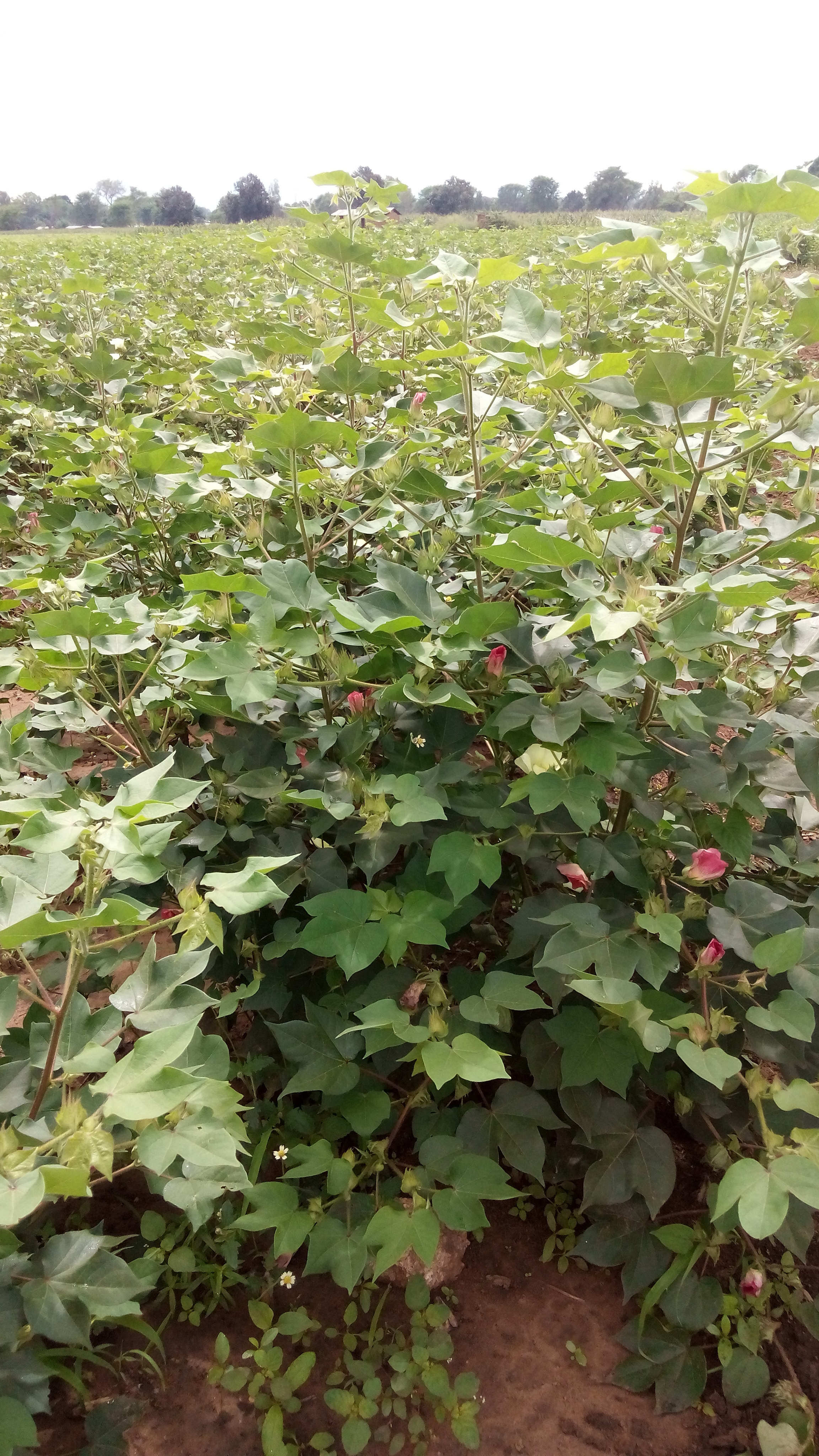 bt cotton bush